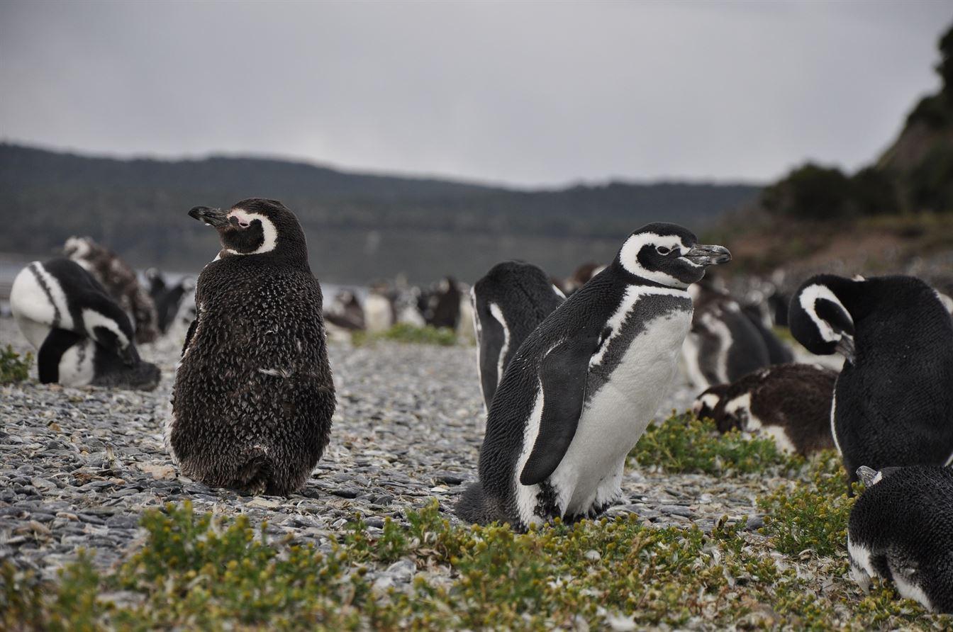 pinguini-il-ponticello